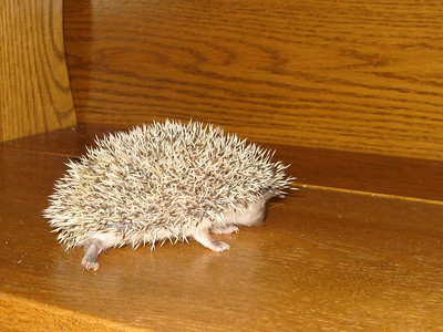 Reserved Babies (06/12/2007)  Hedgehog Babies Reserved for S (06/12/2007)  Filename reference: 20070612-232343-HAH-Hedgehog_Babies