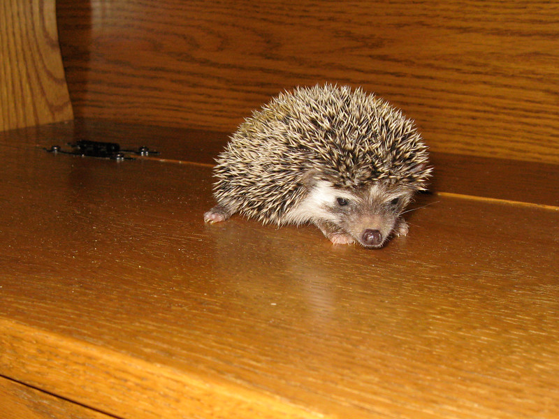 Reserved Babies (06/12/2007)  Hedgehog Babies Reserved for PV (06/12/2007)  Filename reference: 20070612-232924-HAH-Hedgehog_Babies
