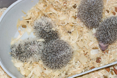 Unavailable Babies (06/12/2007)  Hedgehog Babies (06/12/2007)  Filename reference: 20070612-225608-HAH-Hedgehog_Babies