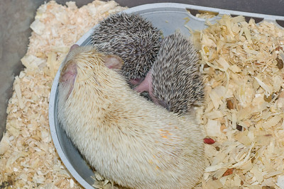 Unavailable Babies (06/12/2007)  Hedgehog Babies (06/12/2007)  Filename reference: 20070612-225530-HAH-Hedgehog_Babies