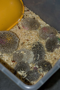 Unavailable Babies (06/12/2007)  Hedgehog Babies (06/12/2007)  Filename reference: 20070612-225738-HAH-Hedgehog_Babies