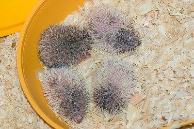 Unavailable Babies (06/12/2007)  Hedgehog Babies (06/12/2007)  Filename reference: 20070612-225254-HAH-Hedgehog_Babies