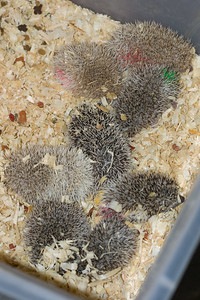 Unavailable Babies (06/12/2007)  Hedgehog Babies (06/12/2007)  Filename reference: 20070612-225750-HAH-Hedgehog_Babies