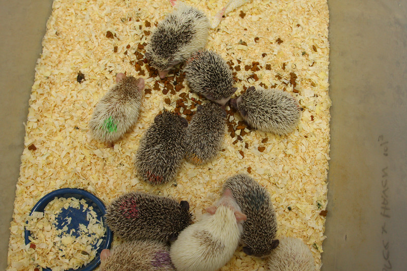 Hedgehog Babies (02/07/2010)  Some of the wonderful babies recently born at Hamor Hollow!  Filename reference: 20100207-013203-HAH-Hedgehog_Babies-SM