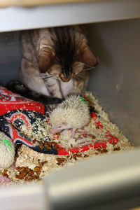 Hedgehog Babies (02/07/2010)  Bindi keeps a watchful eye over some of the more interesting babies.  Filename reference: 20100207-012604-HAH-Hedgehog_Babies-SM