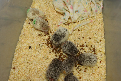 Hedgehog Babies (02/07/2010)  Some of the wonderful babies recently born at Hamor Hollow!  Filename reference: 20100207-013155-HAH-Hedgehog_Babies-SM