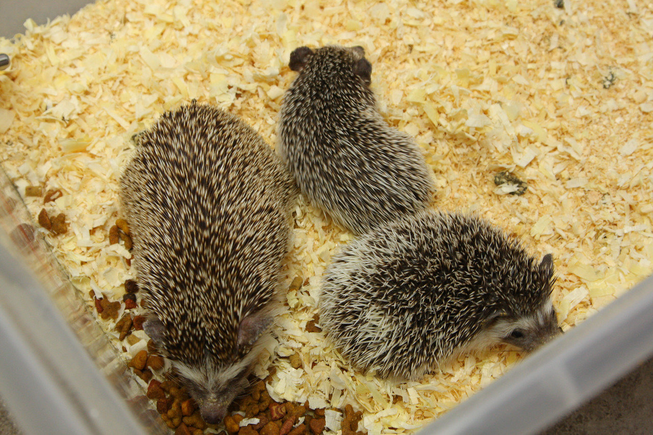 Hedgehog Babies (02/07/2010)  Some of the wonderful babies recently born at Hamor Hollow!  Filename reference: 20100207-012847-HAH-Hedgehog_Babies-SM