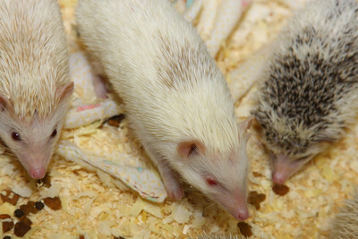 Hedgehog Babies (02/07/2010)  Some of the wonderful babies recently born at Hamor Hollow!  Filename reference: 20100207-013116-HAH-Hedgehog_Babies-SM