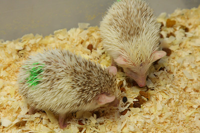 Hedgehog Babies (02/07/2010)  Some of the wonderful babies recently born at Hamor Hollow!  Filename reference: 20100207-013228-HAH-Hedgehog_Babies-SM