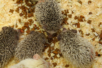 Hedgehog Babies (02/07/2010)  Circle of Friends  Filename reference: 20100207-013238-HAH-Hedgehog_Babies-SM