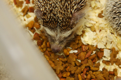 Hedgehog Babies (02/07/2010)  Some of the wonderful babies recently born at Hamor Hollow!  Filename reference: 20100207-012841-HAH-Hedgehog_Babies-SM