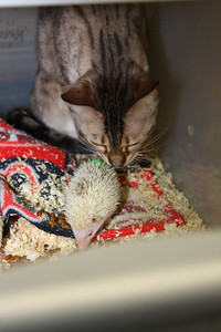 Hedgehog Babies (02/07/2010)  Bindi keeps a watchful eye over some of the more interesting babies.  Filename reference: 20100207-012557-HAH-Hedgehog_Babies-SM