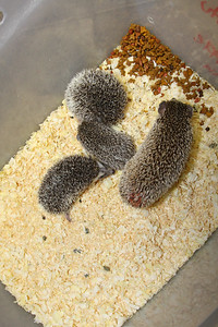 Hedgehog Babies (02/07/2010)  Some of the wonderful babies recently born at Hamor Hollow!  Filename reference: 20100207-012758-HAH-Hedgehog_Babies-SM