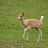 Fallow Deer - Juvenile