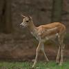 Grant's Gazelle Baby