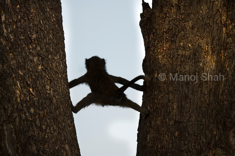 An Olive baboon clims up using two tree trunks in Masai Mara,