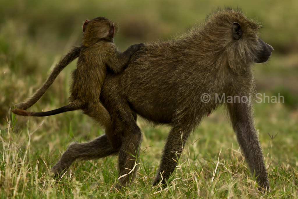 Baboon baby riding on Mother's back