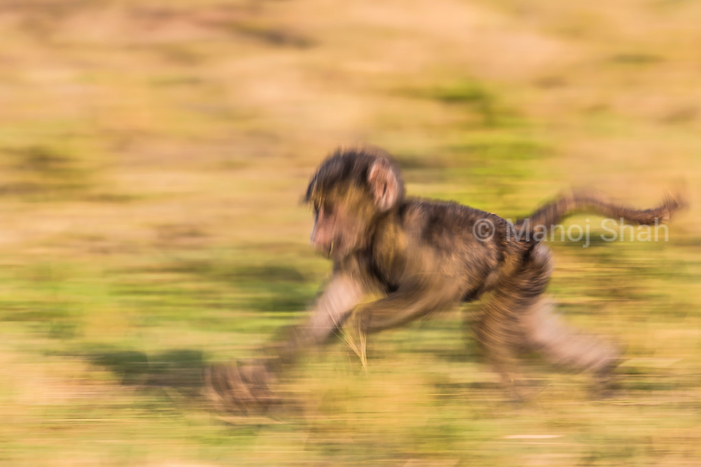 Not to be left behind, the baby baboon runs to catch up with mother in front.