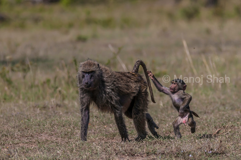 The male olive baboon baby runs to his mother on two legs in Masai Mara almost saying 'Hold On'.