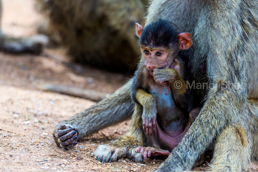 Yellow baboon baby sitting with mother in Amboseli National Park.
