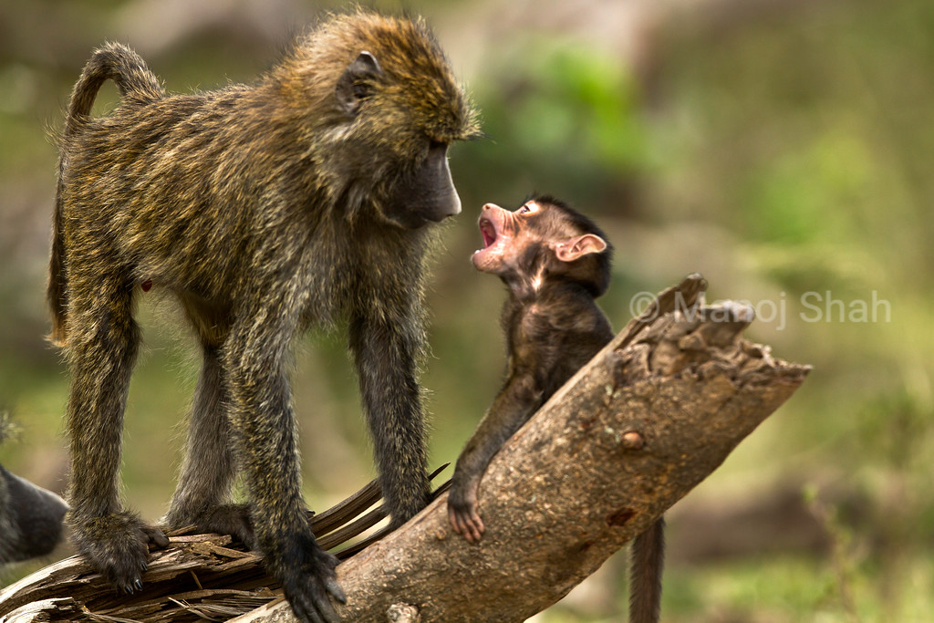 Olive baboon baby with mother