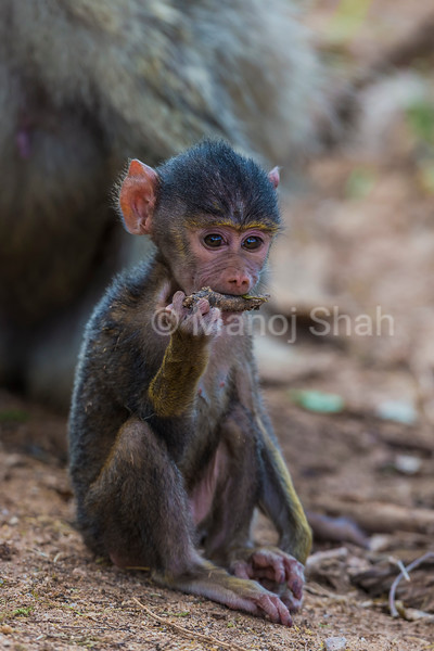 Yellow baboon baby playing with a stick