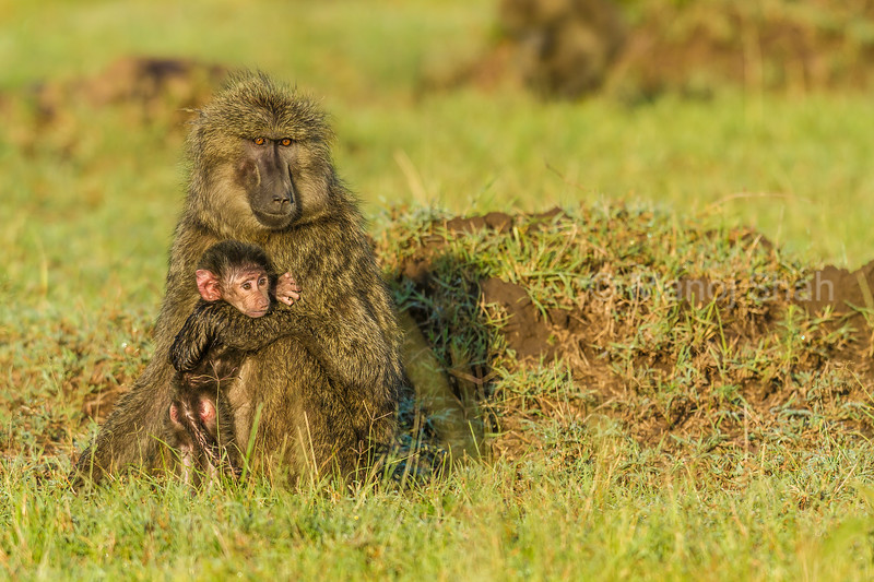 Olive baboom mother and baby in Masai Mara.