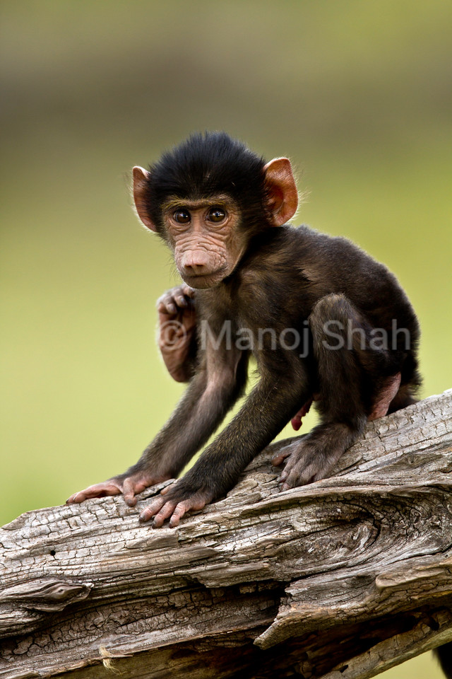 Baboon baby playing on a branch