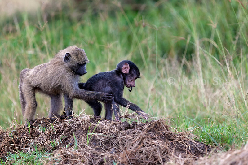 Olive baboon youngster playing with baby.