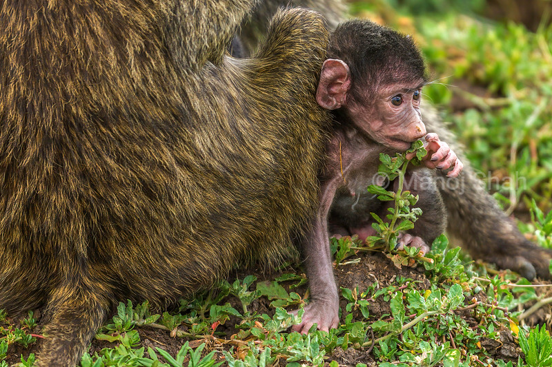 Olive baboon baby plays with mother in Masai Mara.