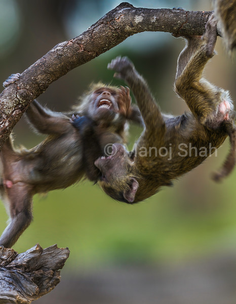 Two Olive baboon babies play fighting on a fallen branch in Masai Mara.
