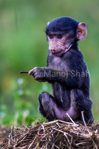 Baboon Baby playing with a twig