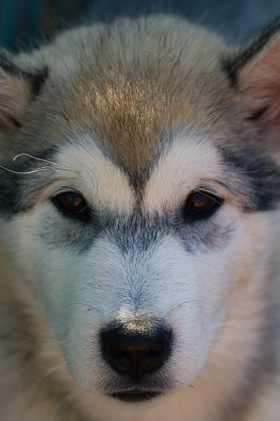 Baby Alaskan Malamutes