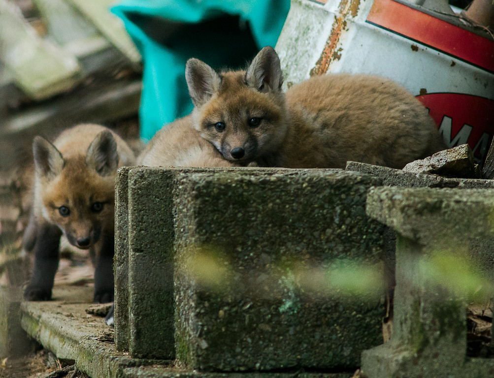 . A family of foxes has made a den on the property of a home near Lake Shirley in Lunenburg, as seen on Thursday, April 20, 2017. SENTINEL & ENTERPRISE / Ashley Green