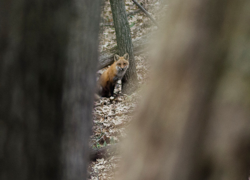 A family of foxes has made a den on the property of a home near Lake Shirley in Lunenburg, as seen on Thursday, April 20, 2017. SENTINEL & ENTERPRISE / Ashley Green
