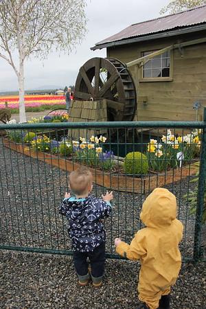tulips april 2017
