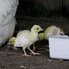 One by one the chicks make their way under mom.