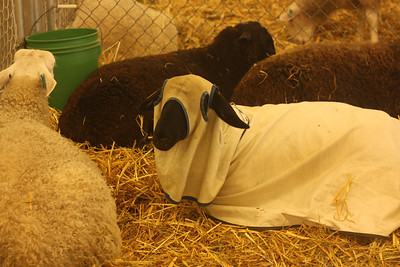 These sheep outfits kind of creep me out