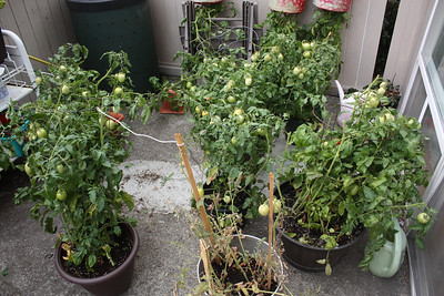My failed tomato experiment! Too many greens at the end of the season and the ones that ripened taste terrible!