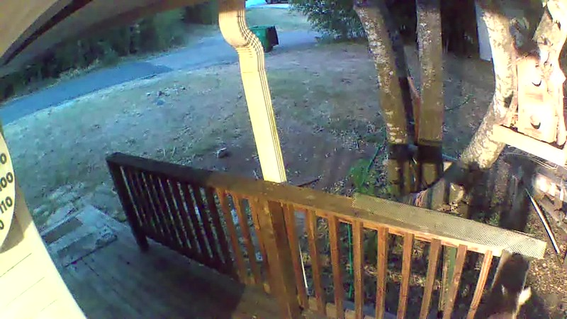 VIDEO :  I'm pretty sure this is the culprit; a RINGTAIL CAT! This was about a week after the babies disappeared.