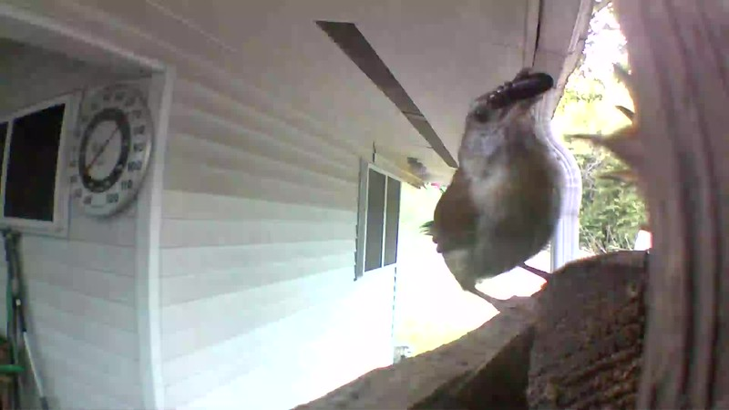 DADDY Wren delivering Breakfast.. early morning....Look at the size of that breakfast! .. one swallow and it's GONE 1