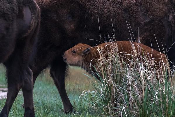 Baby bison, bulls, balsamroots, elk and antelope