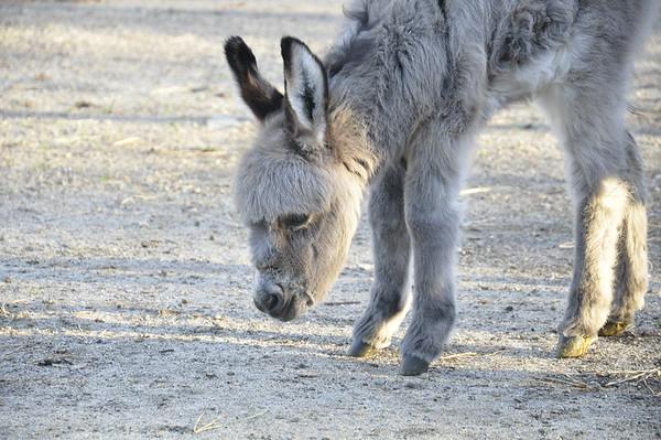 baby donkey 2016