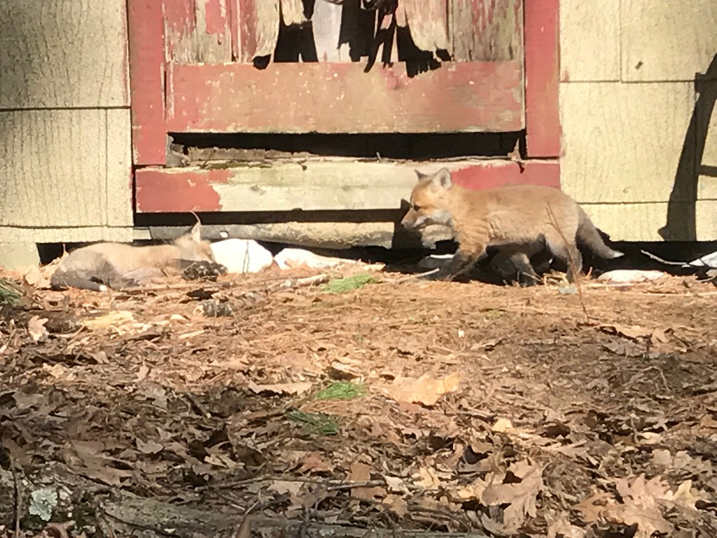 . A baby fox looks to be interrupting a sibling\'s nap. A baby fox relaxes in the sun near Lake Shirley in Lunenburg. (CHARLEY VALERA PHOTO)