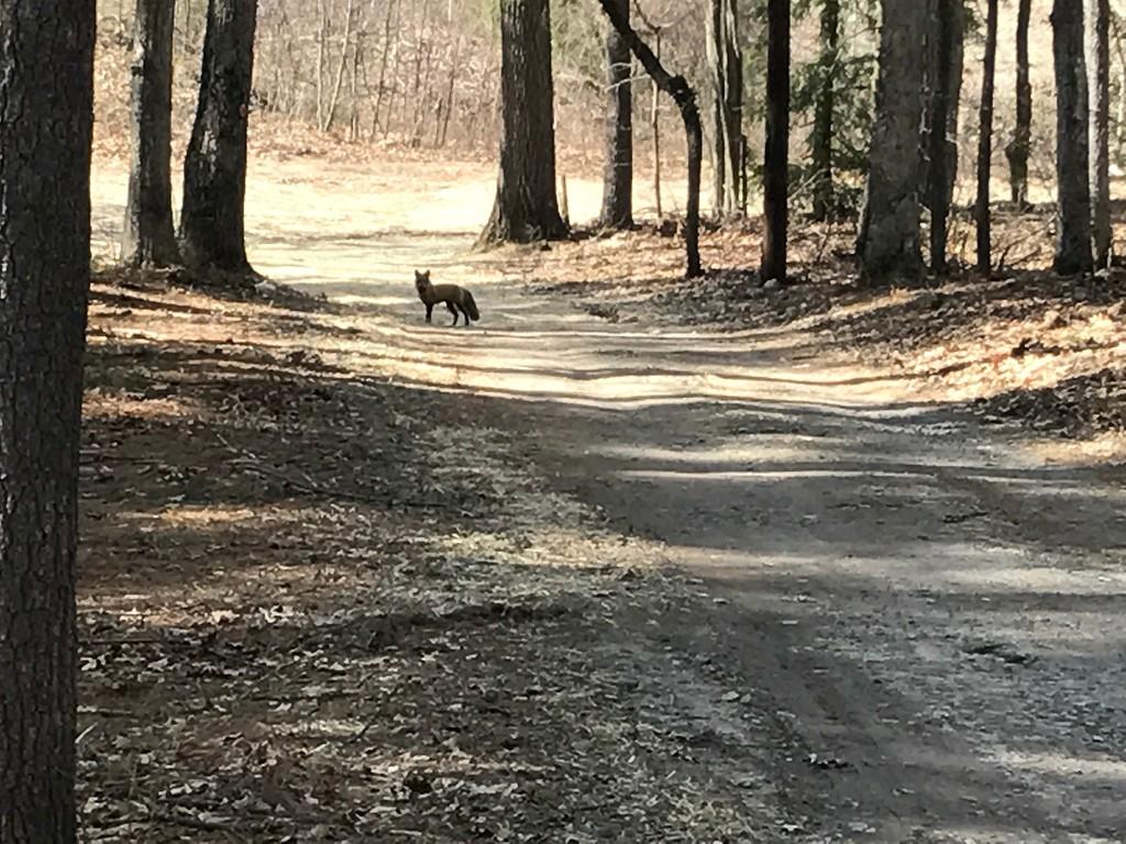 . Adult fox near Lake Shirley in Lunenburg. (CHARLEY VALERA PHOTO)