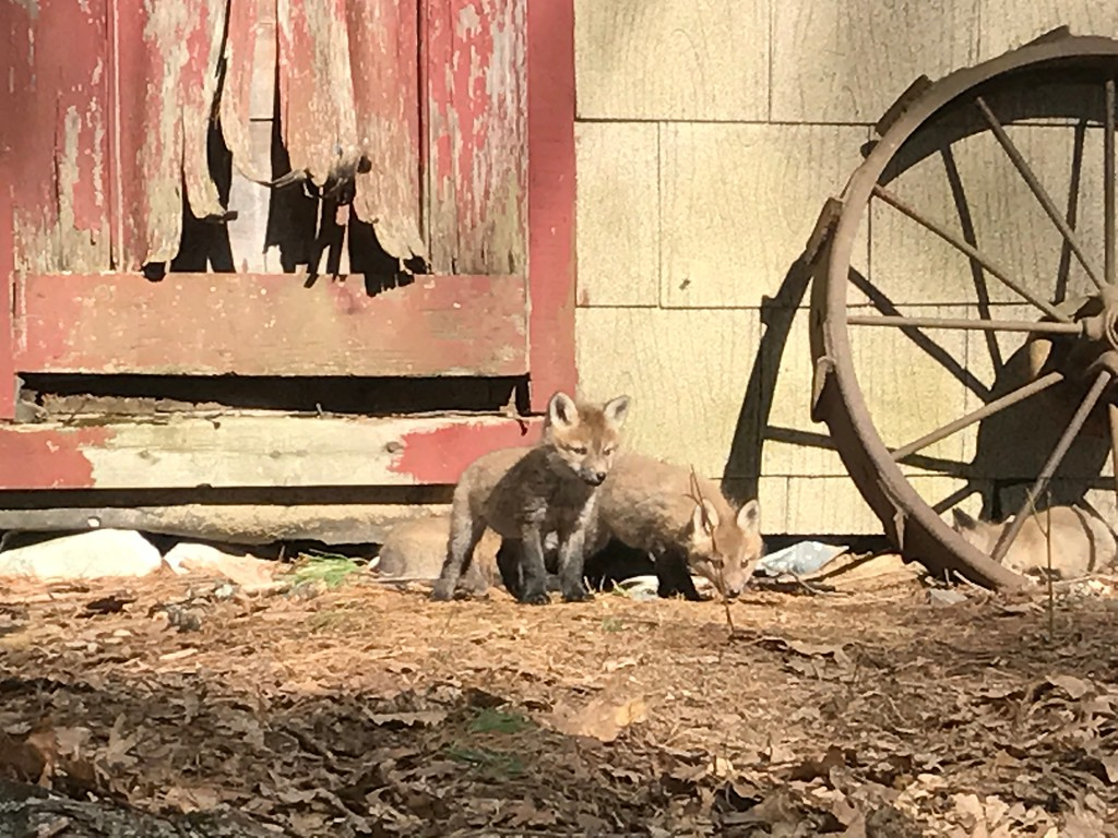 . Charley Valera of Lunenburg shared these photos he took of a makeshift fox den in an abandoned shed near Lake Shirley. Valera counted four pups along with Papa Fox and Mama Fox. (CHARLEY VALERA PHOTO)