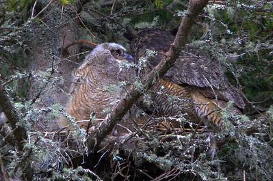 Geat Horned Owl family 5