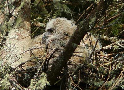 Great Horned Owl family 3