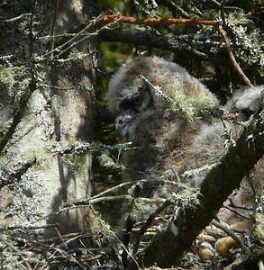 Great Horned Owl family 4