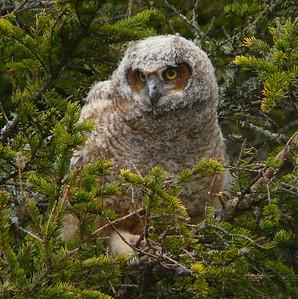 Great Horned Owl family 6
